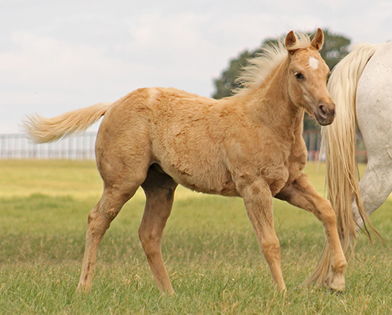 CD Diamond x Spooks Mariah - 2017 Filly