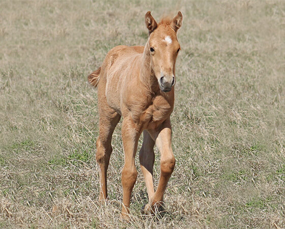 CD Diamond x Whizs Guinivere - 2017 Filly