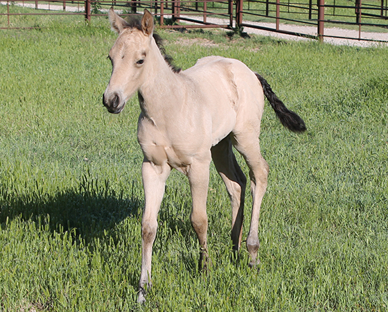CD Diamond x Natalie Rey - 2016 Filly