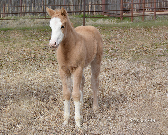 CD Diamond x Shirley Ima Gunner - 2016 Filly