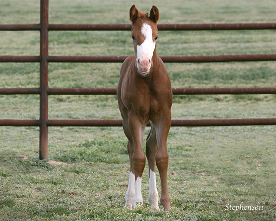 CD Diamond x Shirley Ima Gunner - 2015 Filly