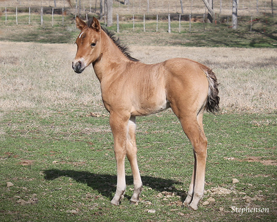 CD Diamond x Tejons Sugar Pine - 2015 Filly