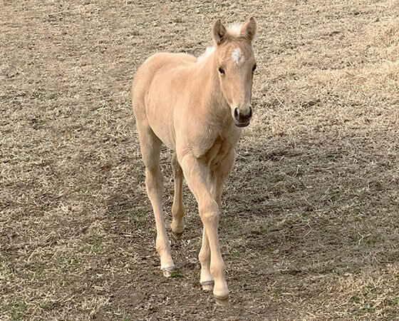 CD Diamond x SJR Oaks Natalie - 2019 Filly
