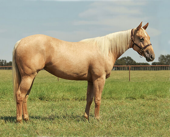 SJR Cashin Diamonds - CD Diamond x Shesa Lota Cash - 2016 Palomino Filly