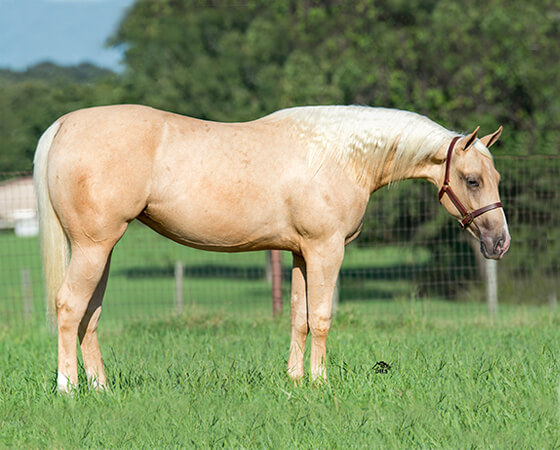 SJR Diamond Kachina - CD Diamond x Whizs Katrina - 2015 Palomino Filly