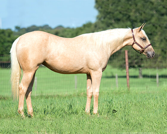 SJR Diamond Karena - CD Diamond x Whizs Katrina - 2015 Palomino Filly