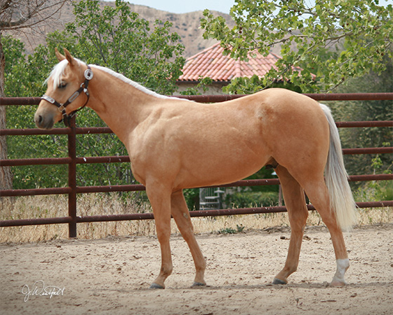 SJR Diamond Nic - CD Diamond x Nics Lil Angel - 2014 Colt