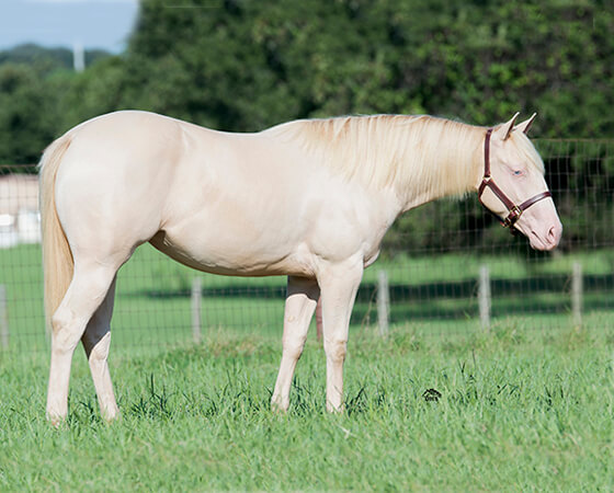 SJR Diamonds Magic - CD Diamond x Shes A Majestic Whiz - 2015 Cremello Filly