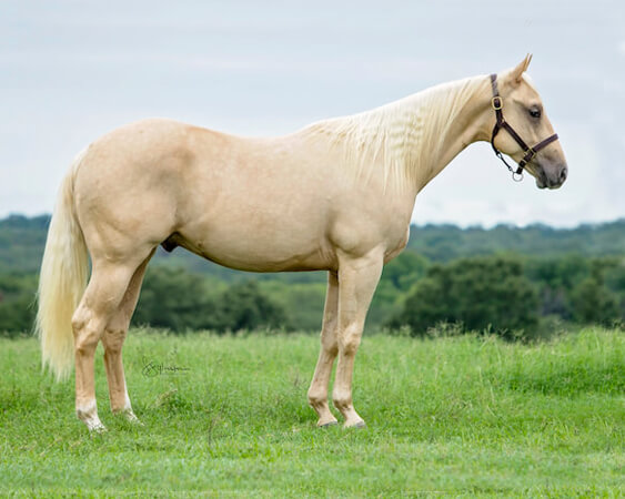 SJR Diamonds Payday - CD Diamond x Shesa Lota Cash - 2017 Palomino Colt