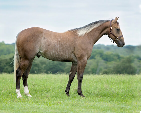 SJR Diamond Calypso - CD Diamond x Kalightascope - 2017 Gray Colt