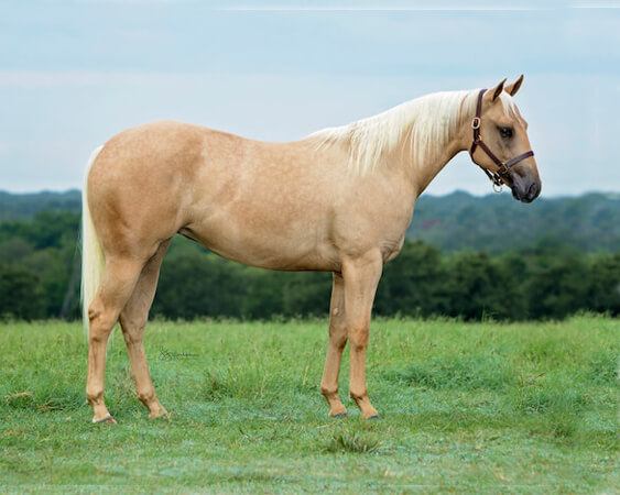 SJR Diamond Playgirl - CD Diamond x Playin Gina - 2017 Palomino Filly