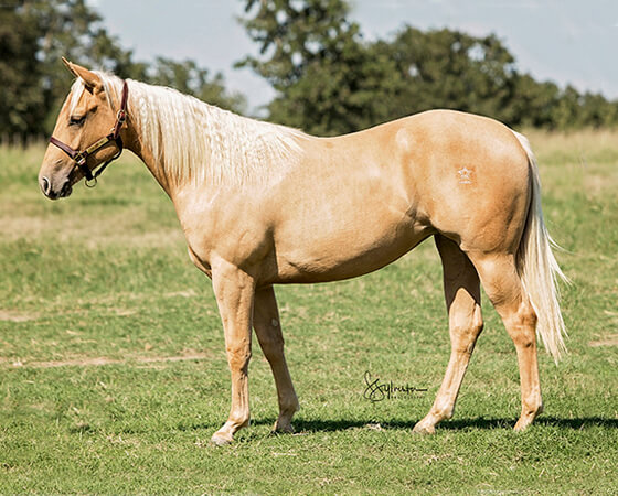 SJR Diamond Ruby - CD Diamond x Smart Ruby Rey - 2016 Palomino Filly