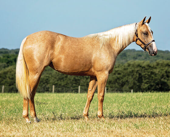 SJR Diamond Ticket - CD Diamond x Bearly Nuf Taz - 2018 Palomino Filly