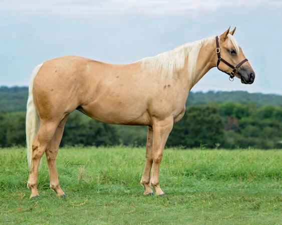 SJR Diamonds Fiona - CD Diamond x Whiz N Spark - 2017 Palomino Filly